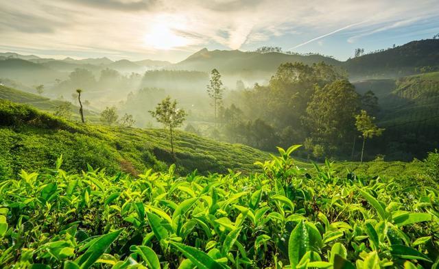 Čajové plantáže Darjeelingu