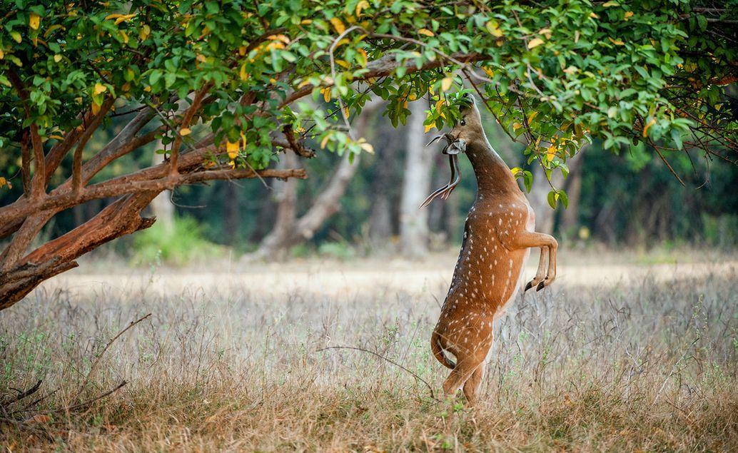 Pozorování tygrů v Ranthambore
