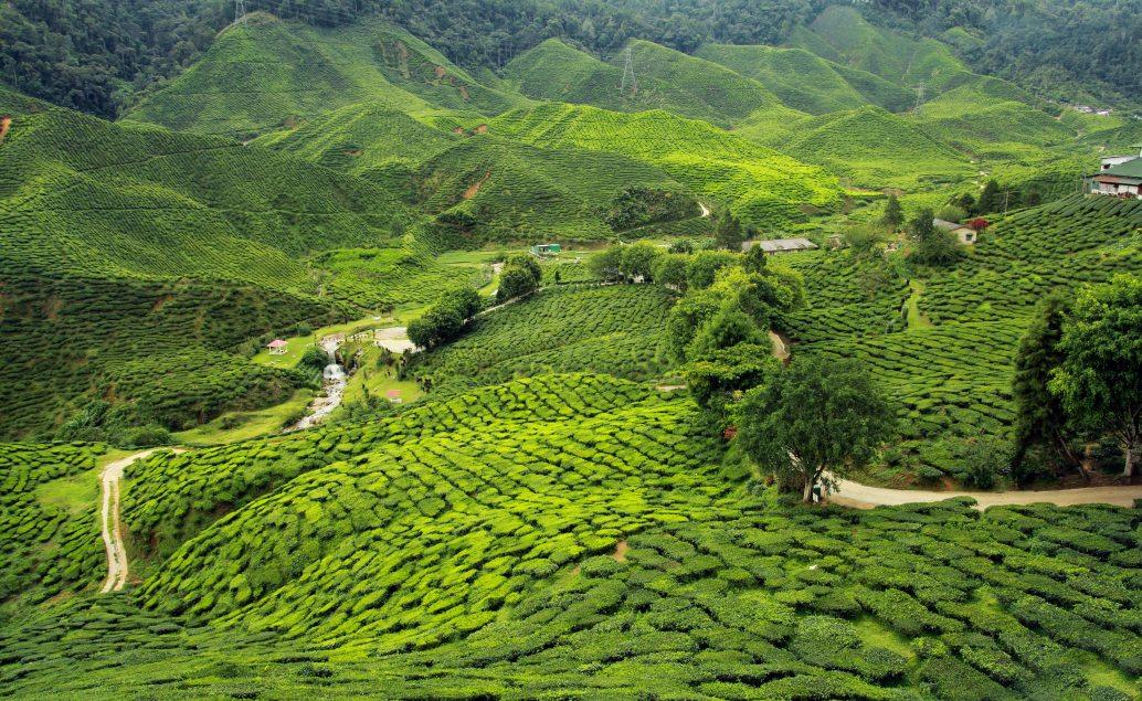 Čajové plantáže v Darjeelingu